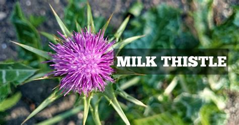 How Should I Take Milk Thistle To Detox Liver by 3 Reasons You Should Be Taking Milk Thistle Pumpd Nutrition