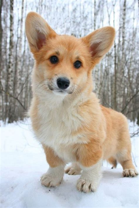 baby corgi puppies 25 best ideas about pembroke corgi on pembroke corgi puppies