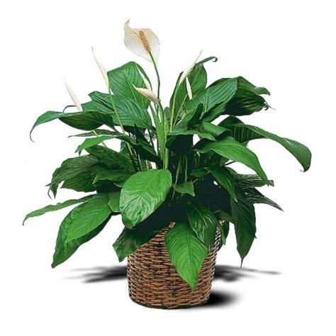 piante da appartamento con fiore spatifillo spathiphyllum spathiphyllum piante da