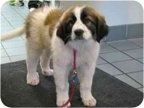 st bernard puppies mn ruth trevor adopted puppy 102209 minneapolis mn great pyrenees st