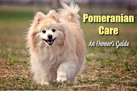 pomeranian guide pomeranian care new owner s guide