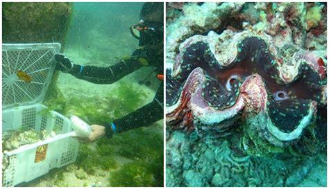 mengenal kerang kima hewan laut super langka