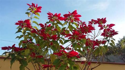 stella di natale come farla fiorire pianta stella di natale adamsrants