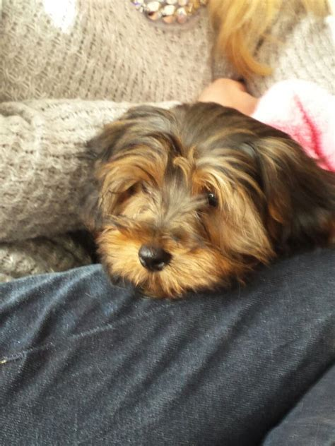 cross yorkie puppies chihuahua cross yorkie puppies westgate on sea kent pets4homes