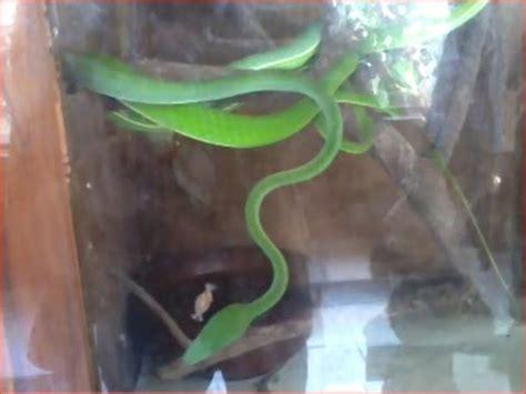 Sonicgear Quatro V Green Hijau ular hijau bungka green snake