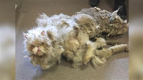 katze macht immer auf den teppich verfilzte perserkatze gerettet sinbad musste 2 5 kilo
