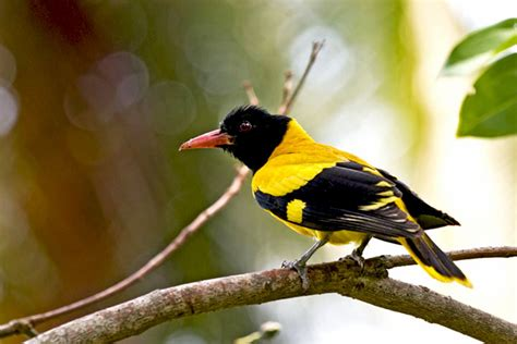 treknature black hooded oriole photo