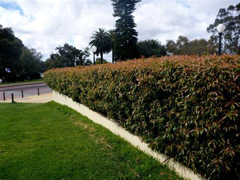 agonis flexuosa nana willow peppermint gardening