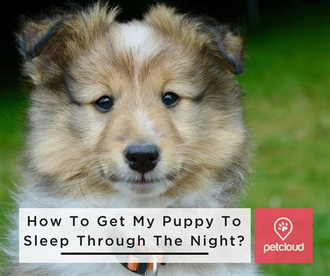 how to get a puppy to sleep through the how do i get my puppy to sleep through the petcloud