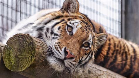 wallpaper sumatran tiger almaty zoo kazakhstan animals