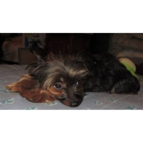 new york yorkie breeders don marion terrier breeder in new york new york