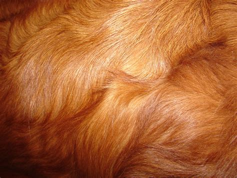 puppy fur retreiver fur texture by fantasystock on deviantart