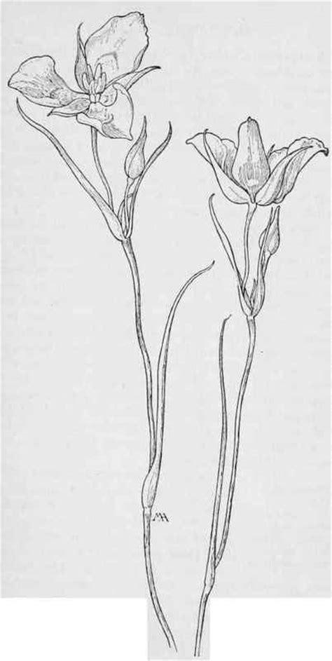 Sego Lily. Mariposa Tulip. Calochortus Nuttallii. White