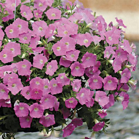 wave 174 pink hybrid petunia seeds