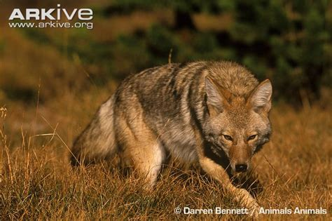 coyote videos photos and facts canis latrans arkive coyote photo canis latrans g62404 arkive
