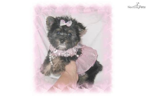 teddy bear cut for teacup yorkie micro teacup pomeranian puppies