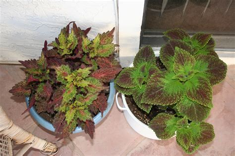 stay gardening coleus plants indoors in the southwest