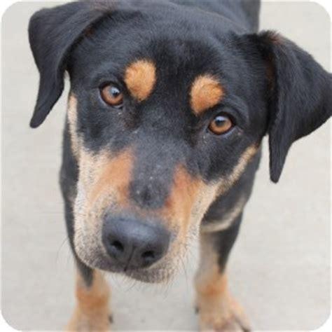 labrador retriever rottweiler mix dawson adopted 14 0175 naperville il rottweiler labrador retriever mix