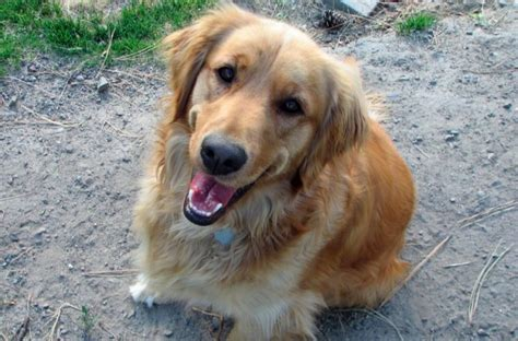 lost golden retriever this lost traveled 111 through the woods to find his family