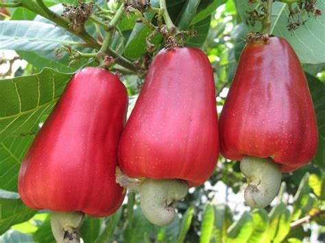 cashew nut fruit tree fruit warehouse shew anacardium occidentale
