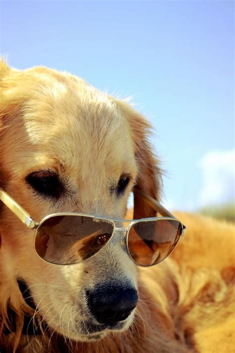 golden retriever shades stylin golden retrievers rock 6
