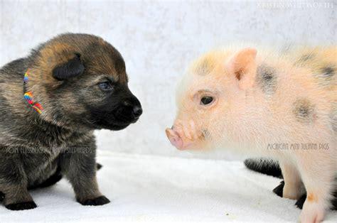 pig puppy german shepherd puppies mini piglets are best buddies