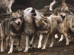 le loup en images femme actuelle
