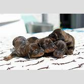 brown-doxen-puppies