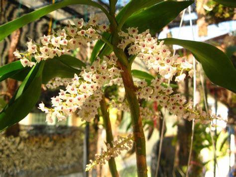 Eria Floribunda iospe photos