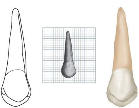 Maxillary Premolar Maxillary Premolar Www Pixshark Images
