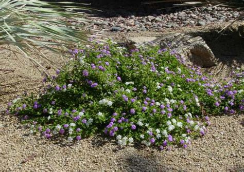 beautiful drought tolerant ground covers birds and blooms
