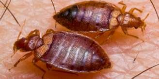 where do bed bugs originate from where do bed bugs come from how to identify bed bugs