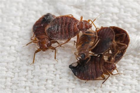 bed bug service prep steps for bed bug service success