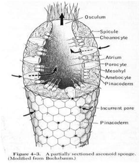 diagram of sponge phylum porifera the sponges ekohadiprabowo s