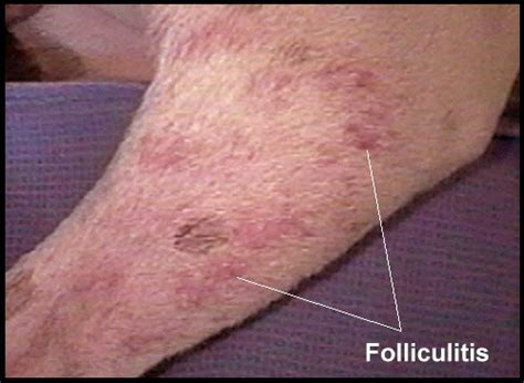 folliculitis in dogs all about top ten skin diseases