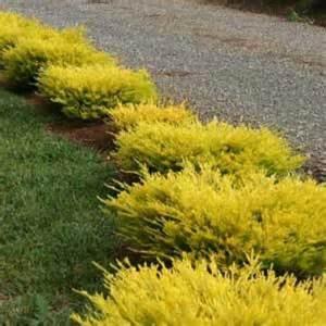 Winter Climbing Plants - buy golden diosma online plants