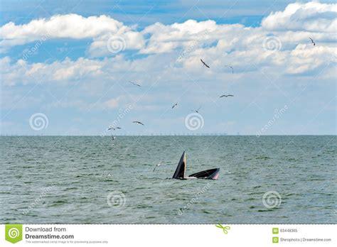 balena alimentazione alimentazione della balena immagine stock immagine di