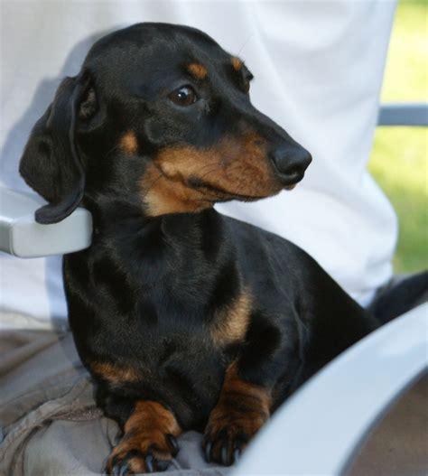 Beautiful female Miniature Dachshund for adoption ...