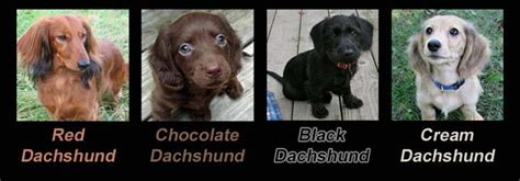 Shades Of Gray Colors by Dachshund Coat Colors The Variey Of Colors And Patterns