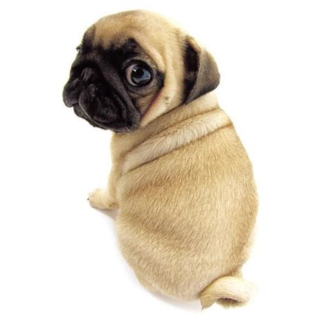 curly pug animals with curly tails images