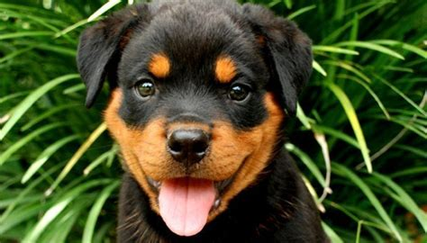 rottweilers facts 31 rottweiler facts everyone needs to