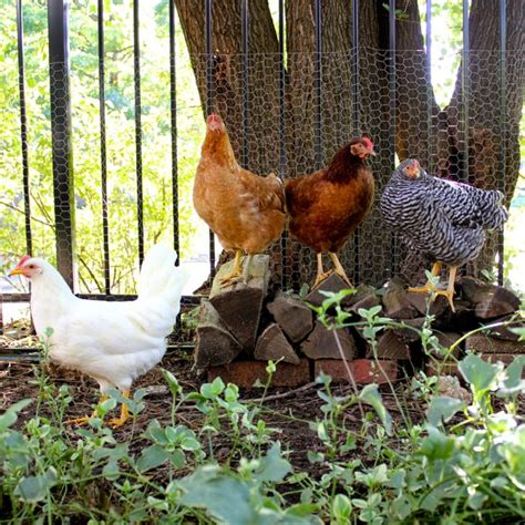 futonbett 120x200 komplett backyard chickens kansas city mo backyard chickens