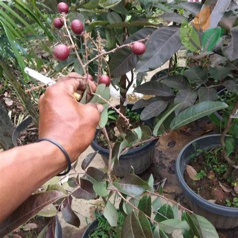Bibit Kelengkeng Yang Sudah Berbuah jual tanaman kelengkeng merah berbuah agro bibit id