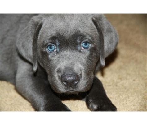 gray lab puppies 25 best ideas about grey labrador on silver labs silver lab puppies and