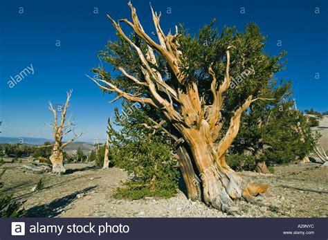 bristlecone pine tree california mystic bristlecone pine pinus longaeva oldest trees on earth