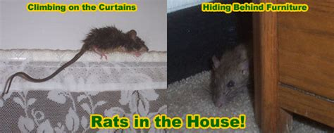 how to catch a rat in the house how to kill a rat in your house instantly and humanely