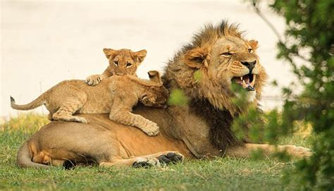 imagenes de leones con sus cachorros 161 enternecedoras im 225 genes adorables cachorros de le 243 n