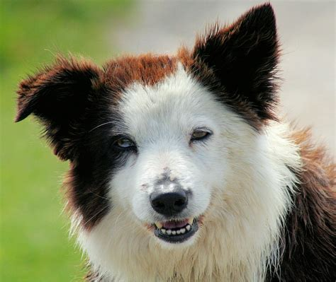 miniature collie puppies miniature collie puppies for sale breeds picture