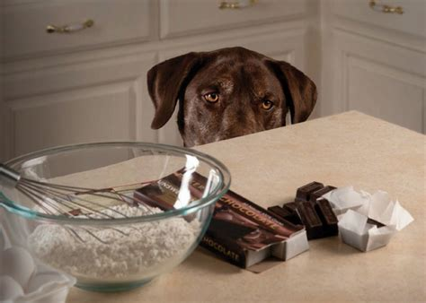 chocolate toxicity the pet wiki houston spca tips for a pet safe valentine s day houston