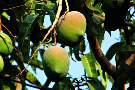 Mango 85 El mangobaum mangifera indica mango pflanze 20cm s 252 223 e essbare fr 252 chte sehr selten green future